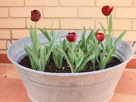 8 gode råd om blomsterløg i krukker