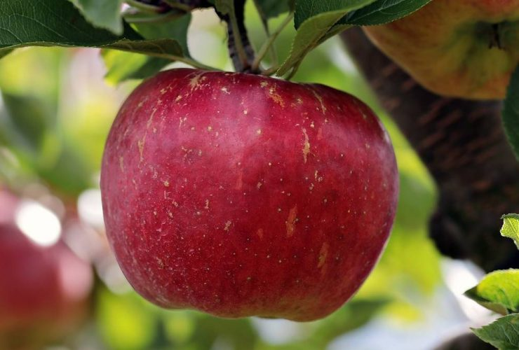 Hvornår skal man plukke æbler?