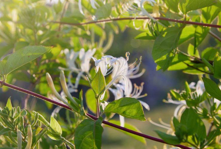 5 af de smukkeste klatreplanter